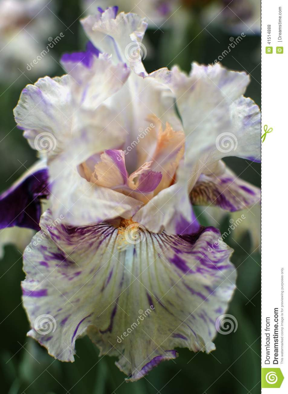 Iris Stock Photo Image Of Flower Colors Wildflower 41514888
