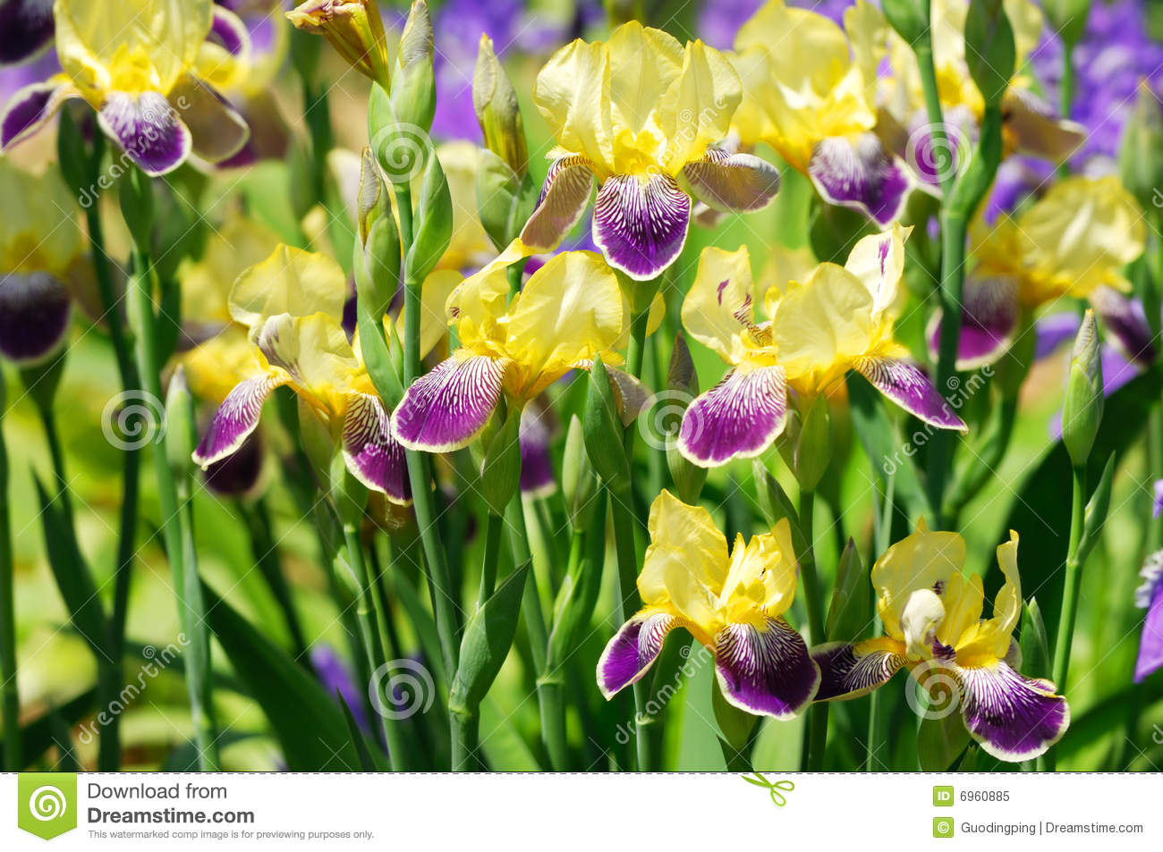 iris blume things are in bloom in the garden the bald. Black Bedroom Furniture Sets. Home Design Ideas
