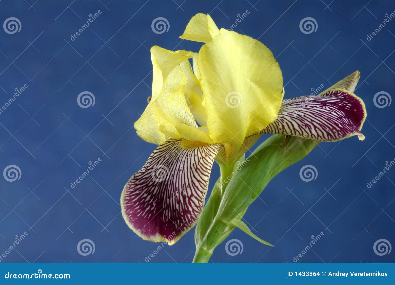 iris blume stockfoto bild von aufbau leben zunahme 1433864. Black Bedroom Furniture Sets. Home Design Ideas