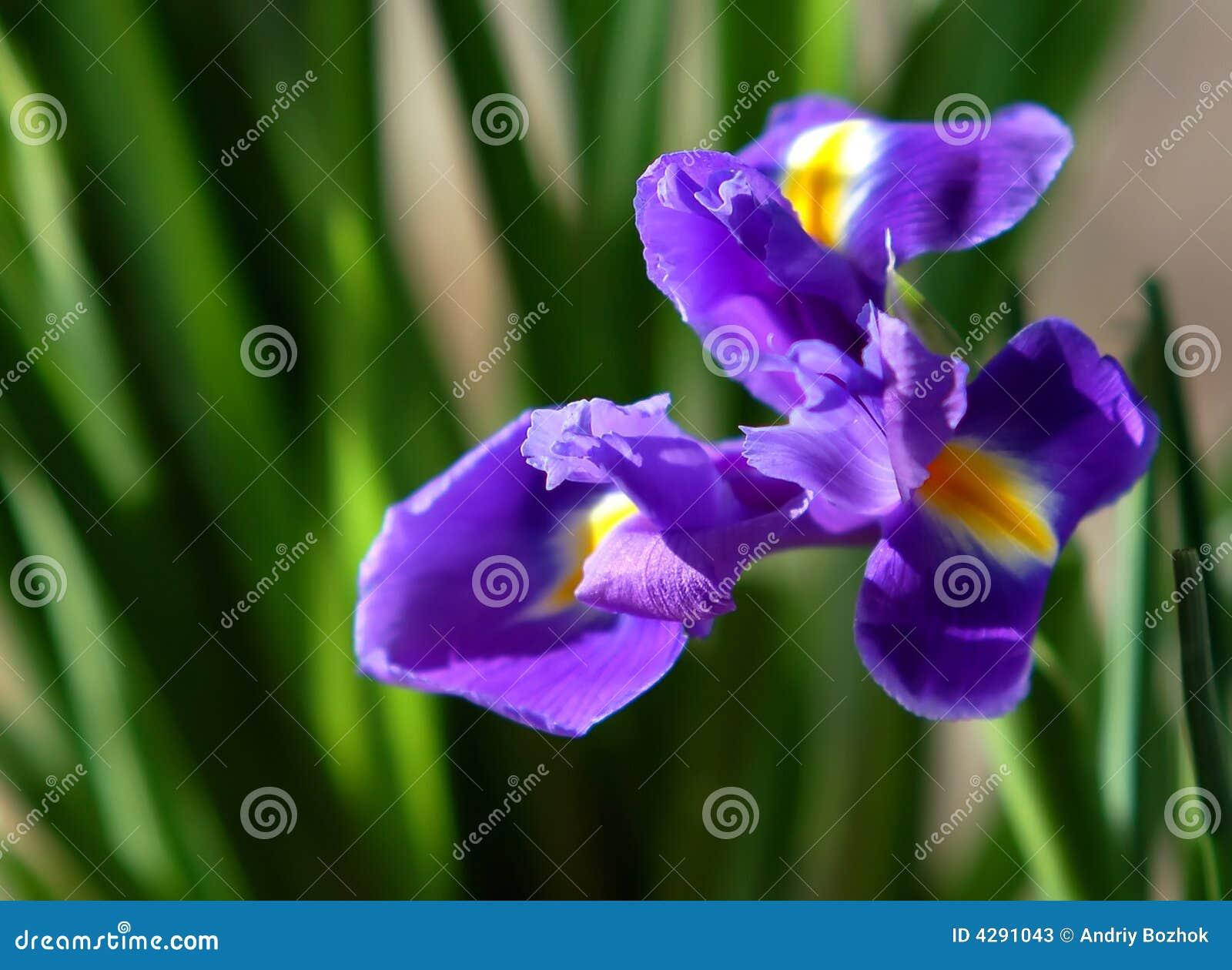 iris blume stockbild bild von gr n farbe violett purpurrot 4291043. Black Bedroom Furniture Sets. Home Design Ideas