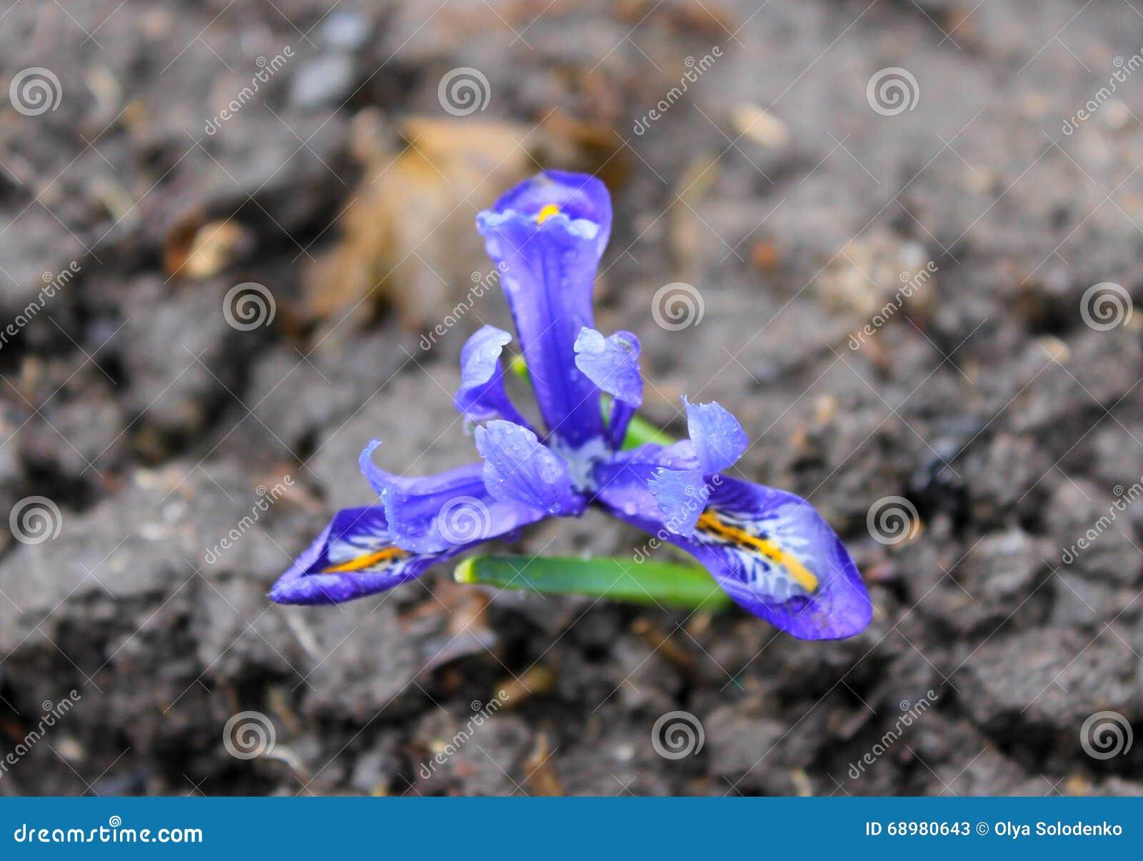 Iris enano azul