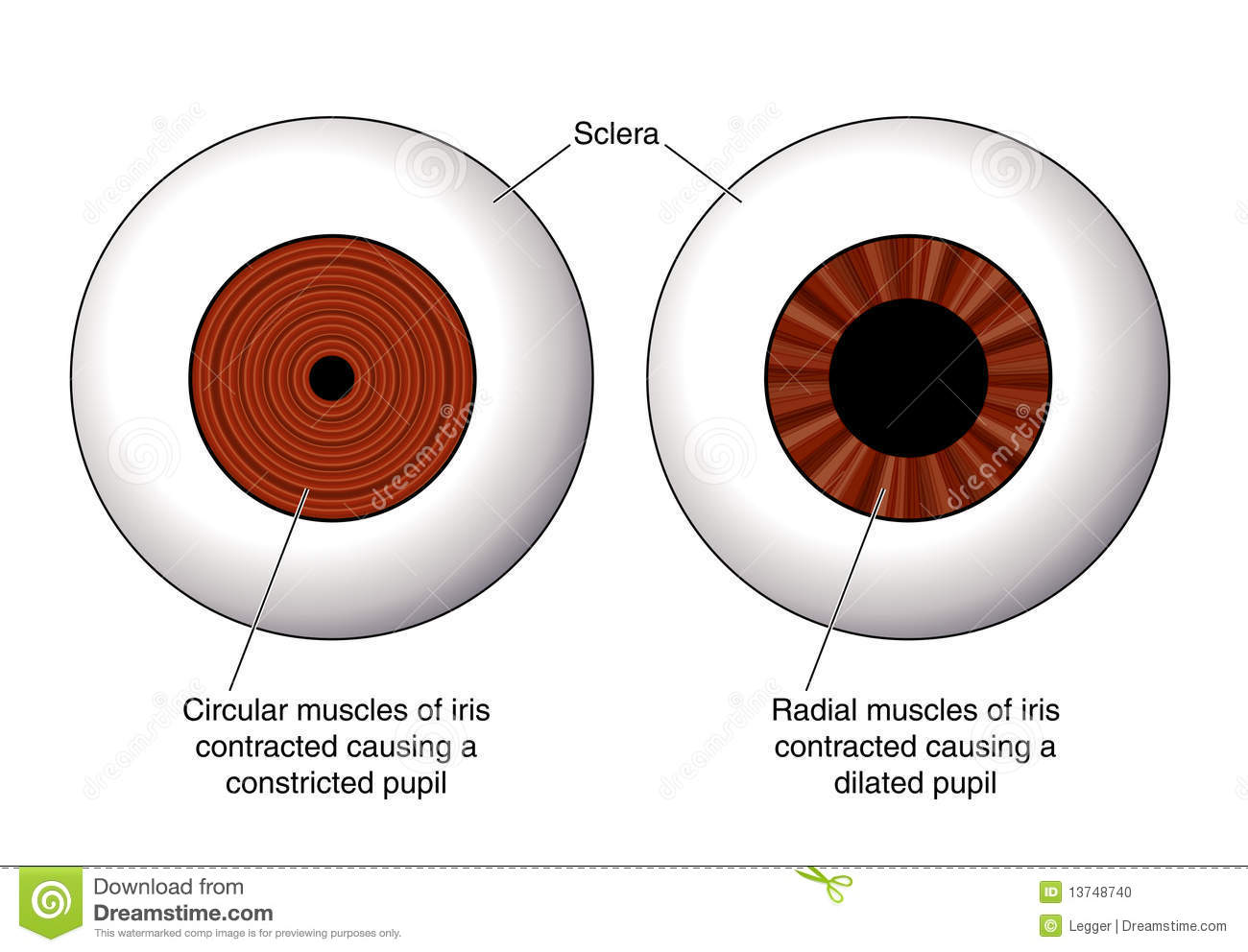 Iris Of Eye Muscles Diagram - DIY Enthusiasts Wiring Diagrams •