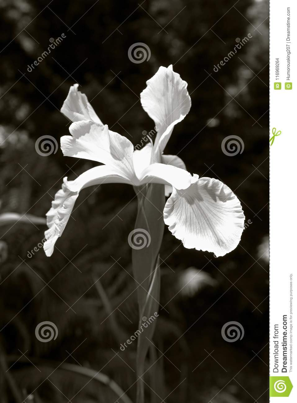Iris Flower In Black And White Stock Photo Image Of Stem Green