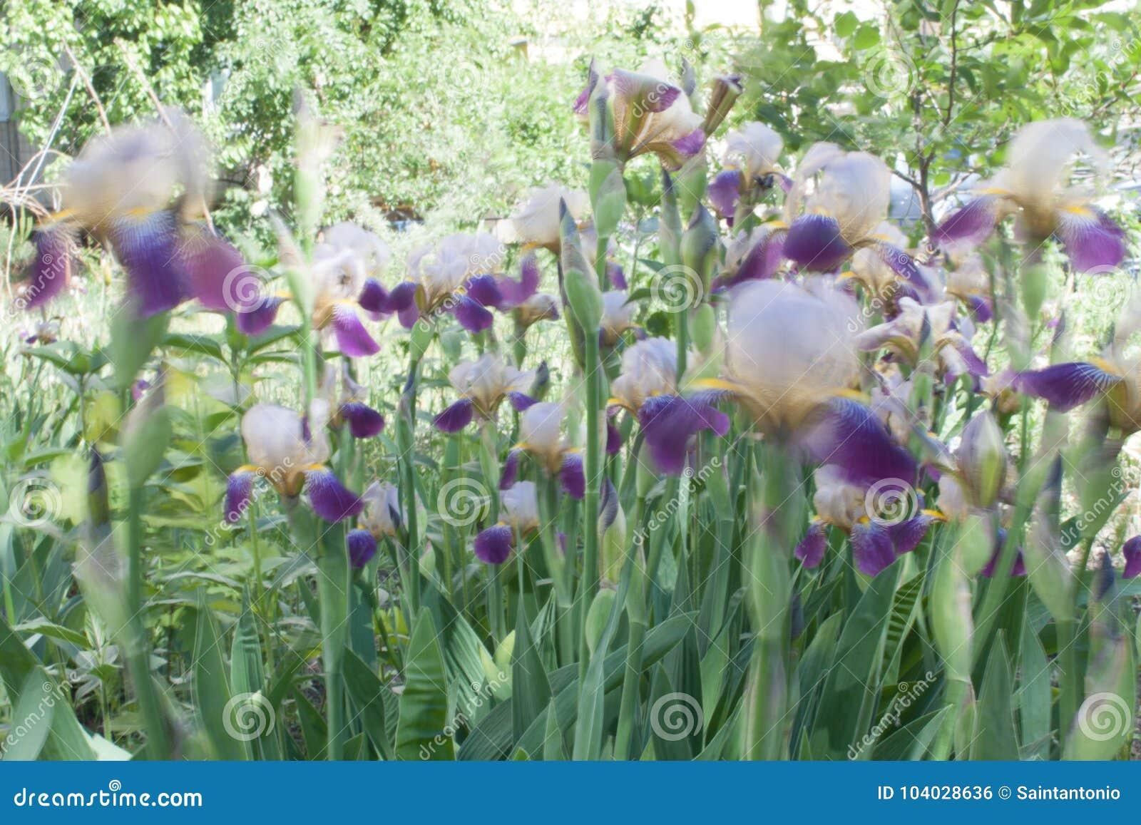 Iris flower in bloom natural colorful background stock photo download iris flower in bloom natural colorful background stock photo image of flower izmirmasajfo
