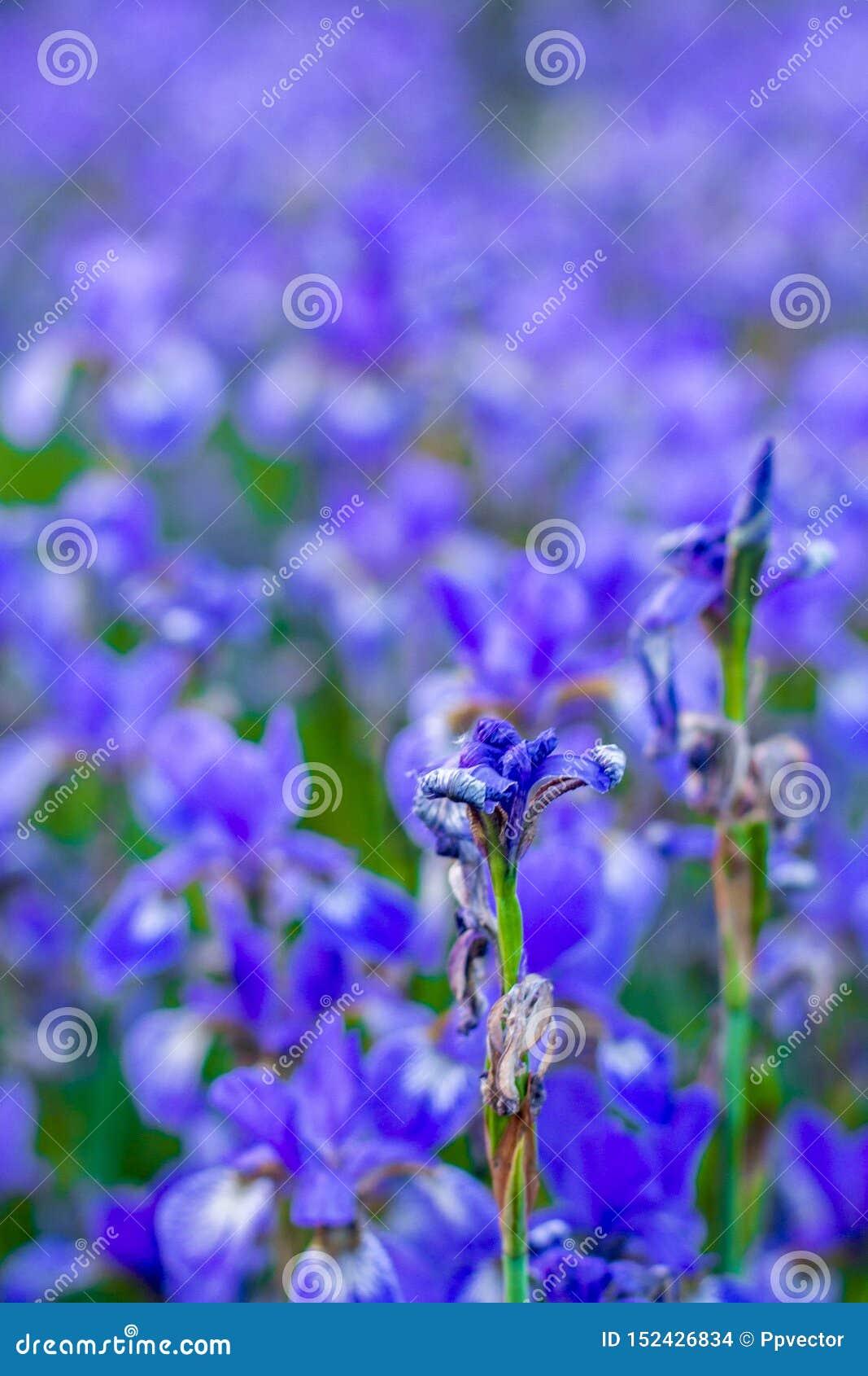 Iris flower. Blooming field of flowers