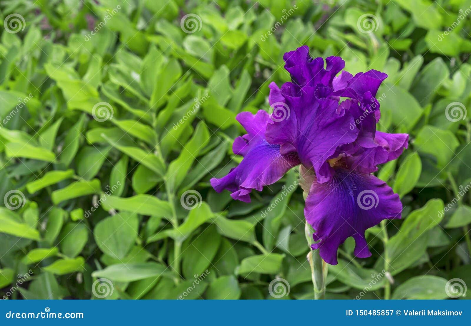 Iris flower. Blooming violet iris, perennial plant of the family Iridaceae