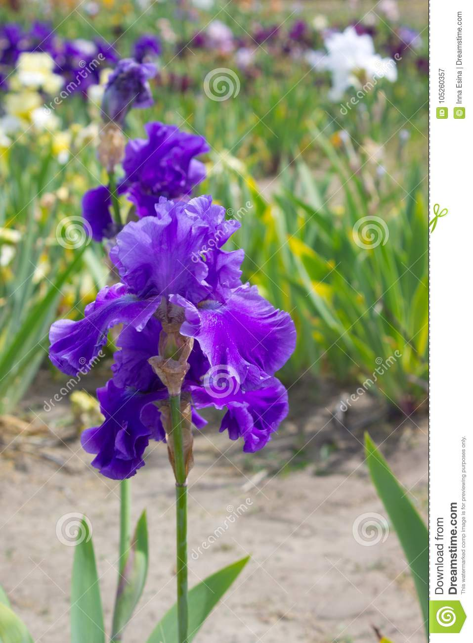Iris Flower In Early Summer Stock Image Image Of Season