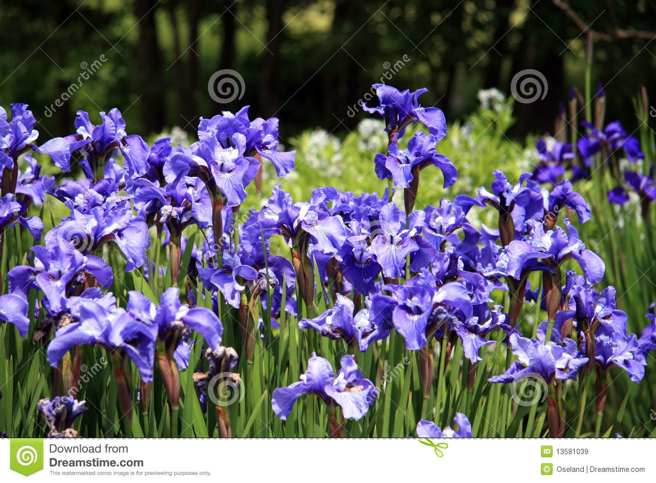 Iris In Flower Garden Stock Image Image Of Pretty Garden 13581039