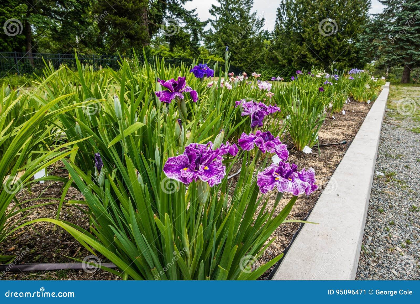 Iris flower garden stock image image of iris view blossming download iris flower garden stock image image of iris view blossming 95096471 izmirmasajfo