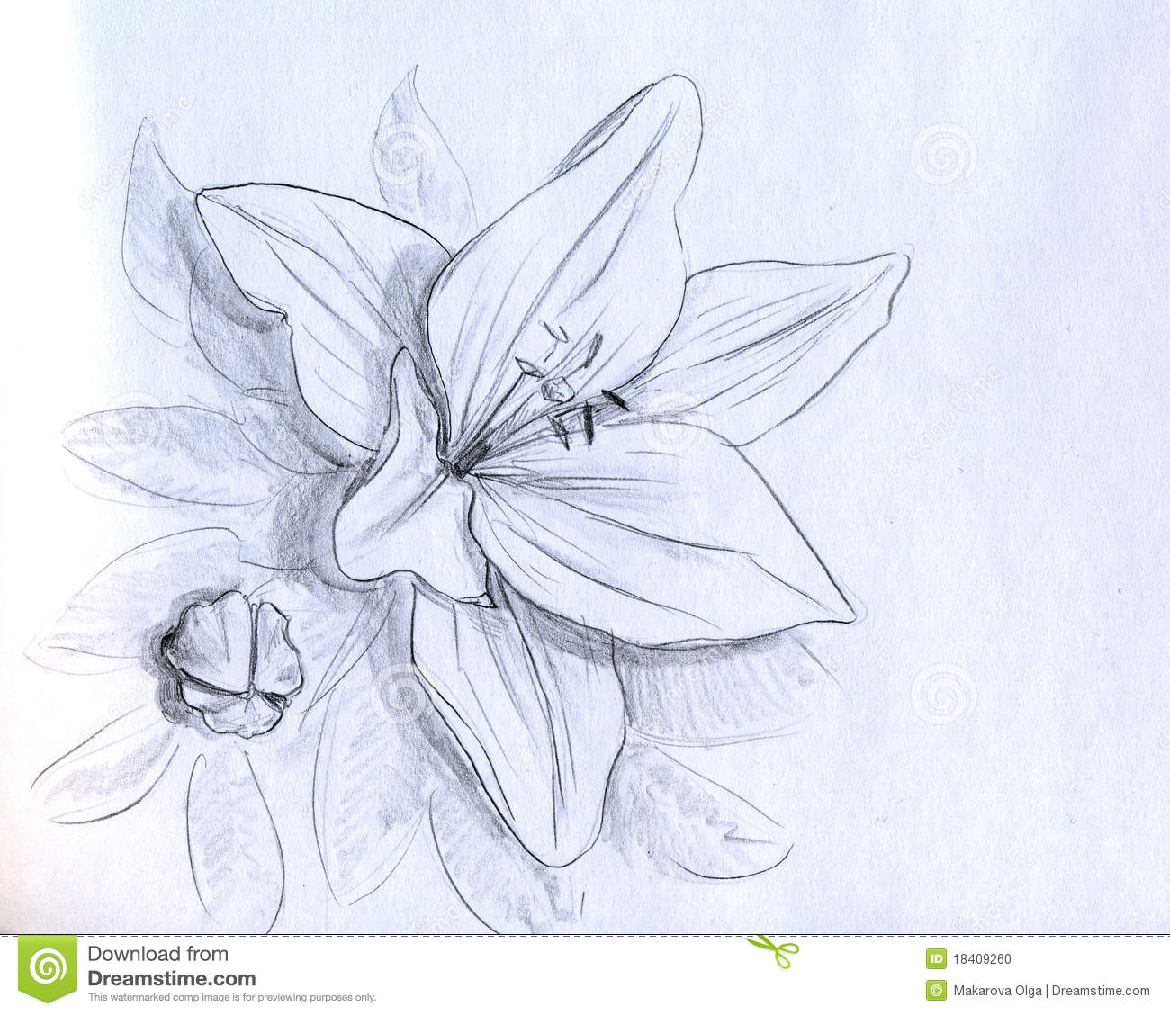 Iris flower bud and leaves pencil drawing sketch