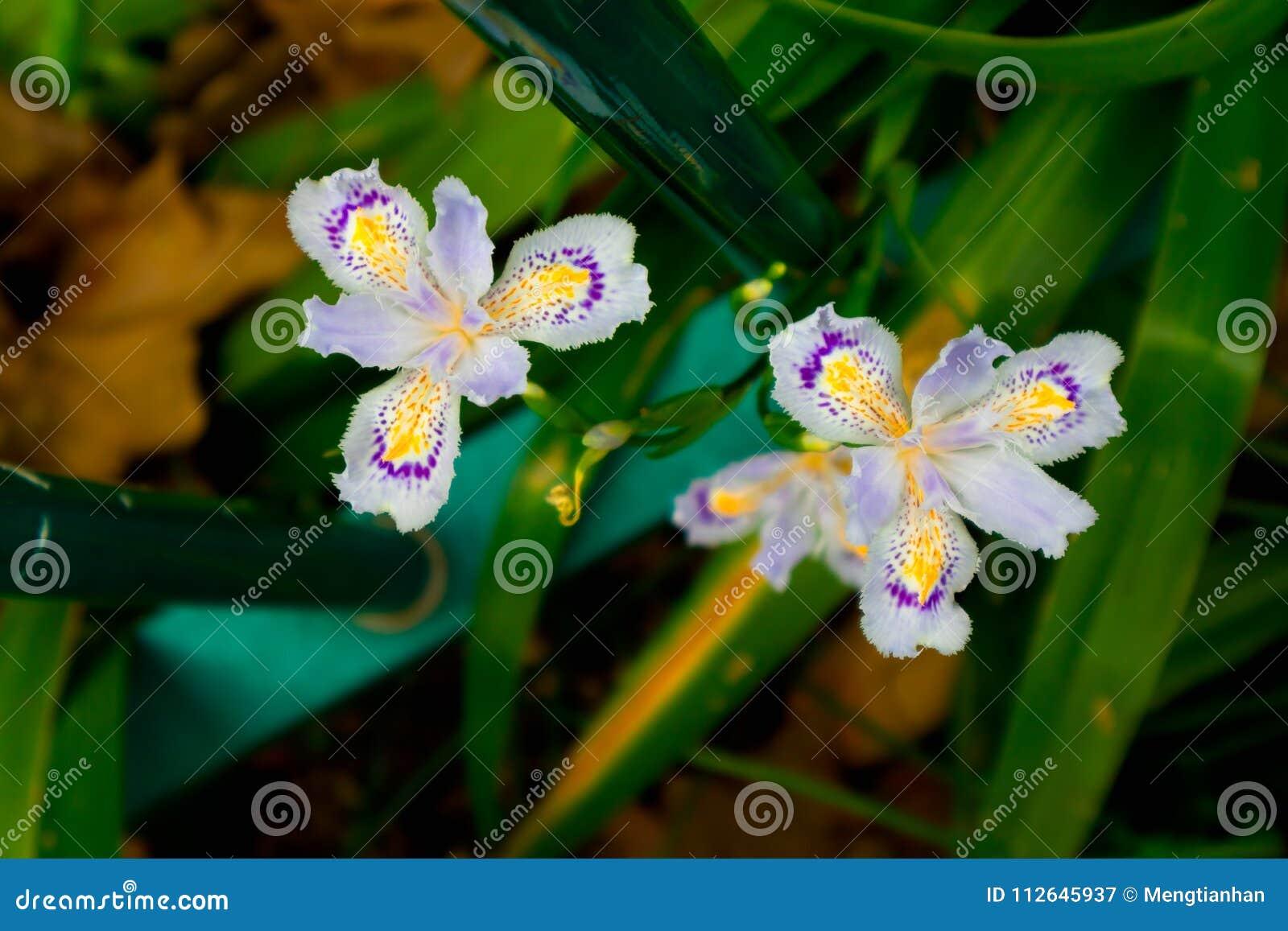 Iris Flower Perennial Herb Stock Image Image Of Deciduous 112645937