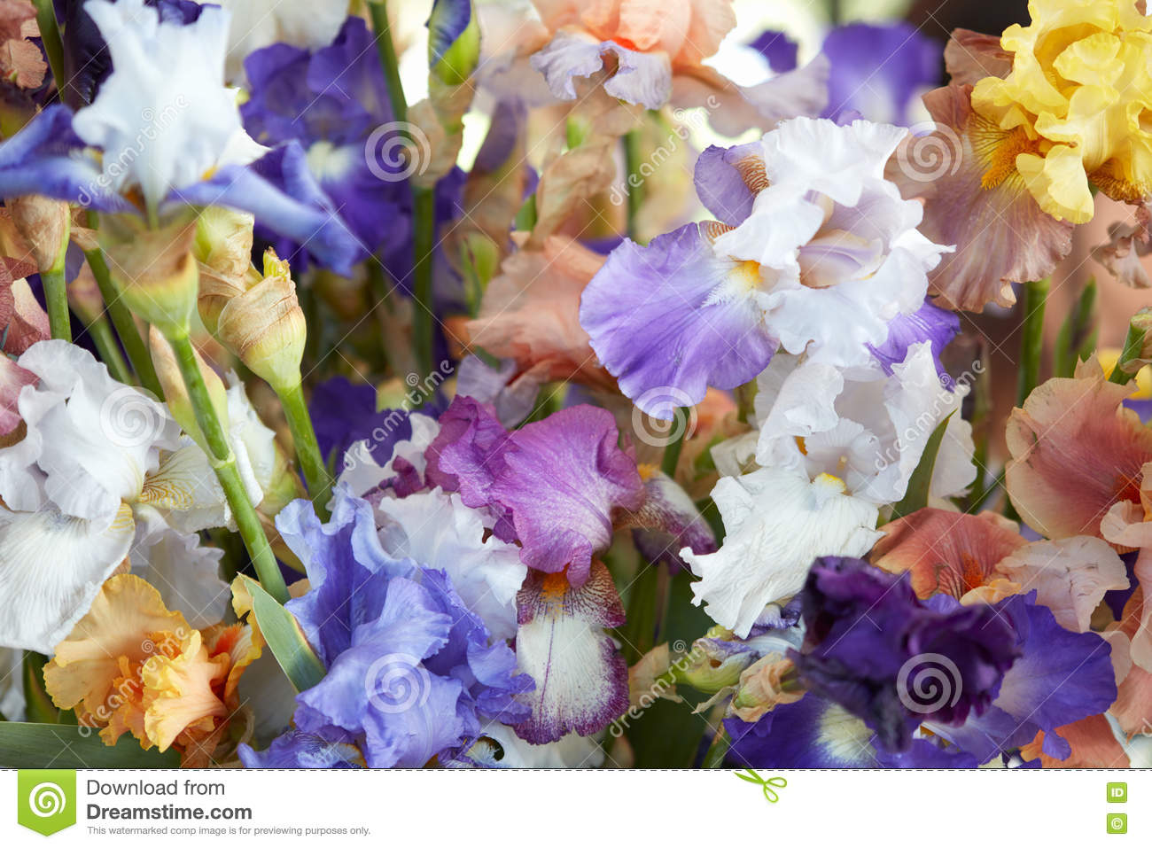 Iris Flowers In Blue Purple Yellow Colors Background Stock Photo