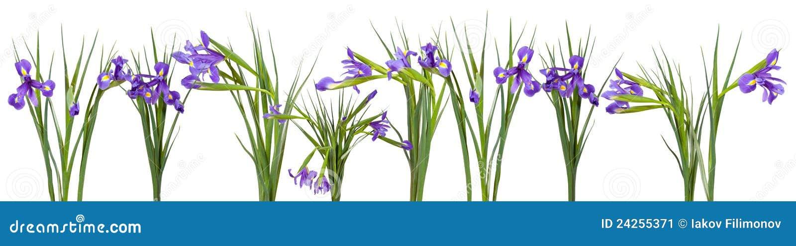 Iris Border Clip Art