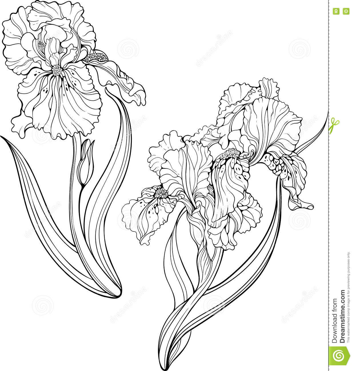 Iris Flowers Coloring Page Stock