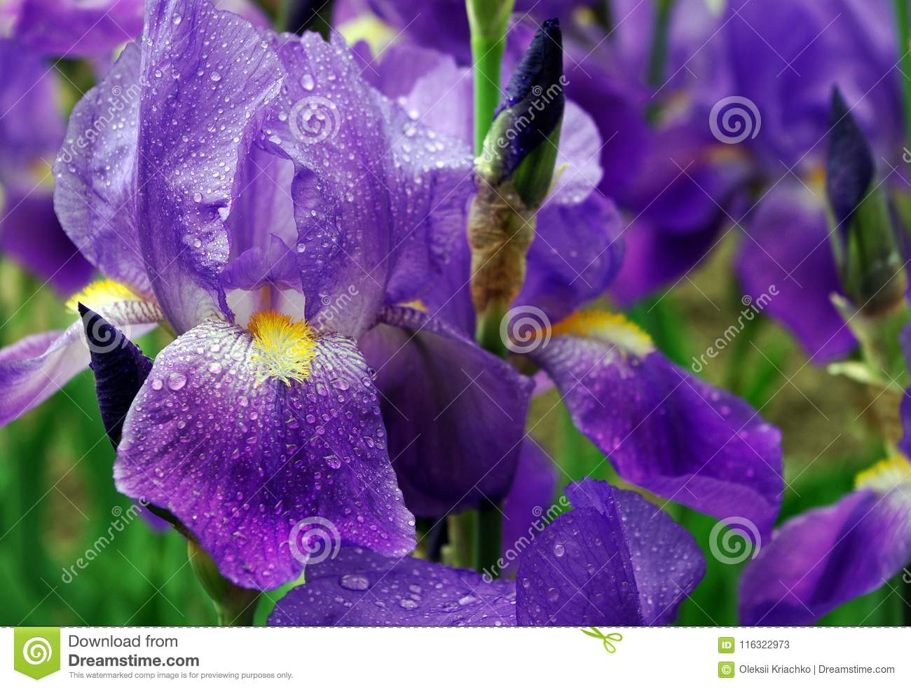 Iris Flowers On A Flower Bed In The Park Stock Image Image Of