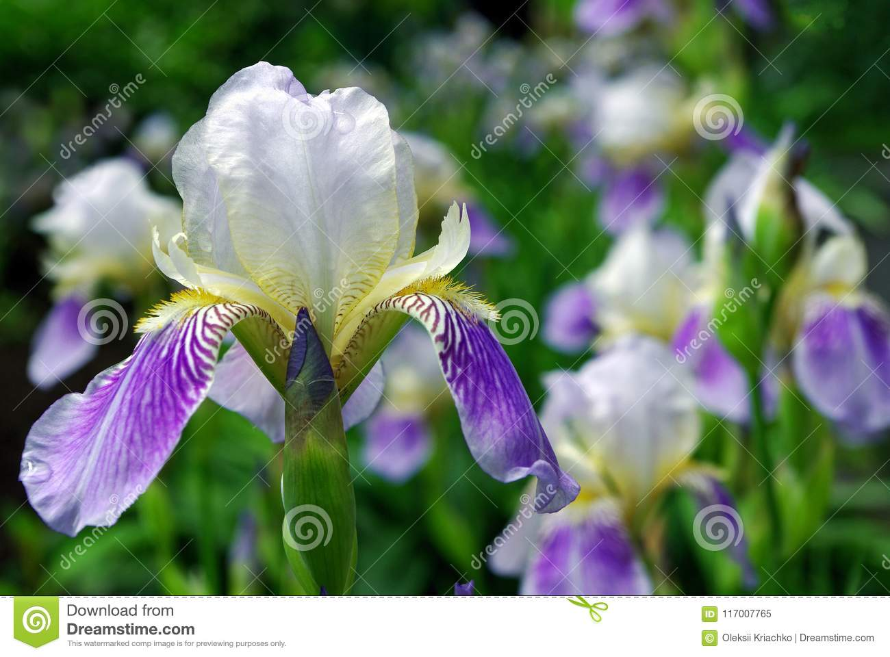 Iris Flowers On A Flower Bed In The Park Stock Image Image Of Card