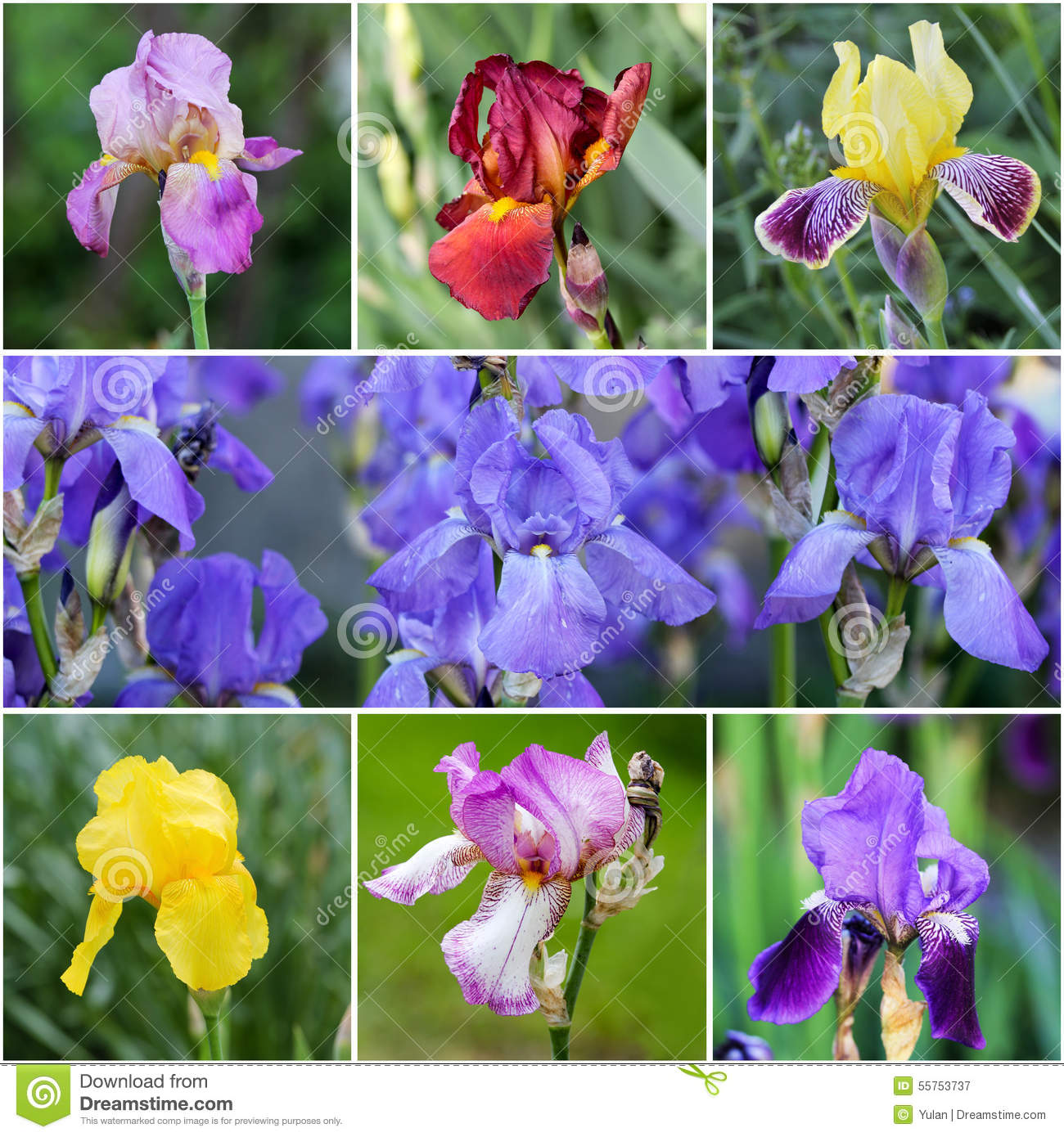 iris flowers stock photo  image, Natural flower