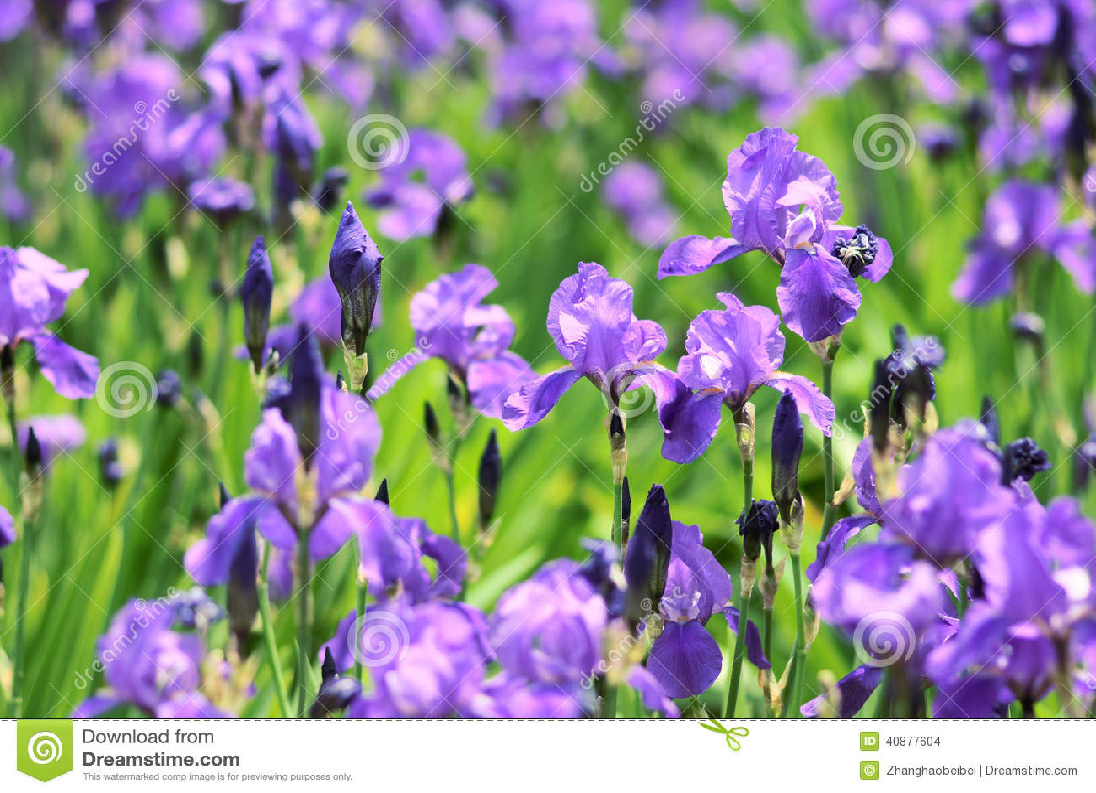 Iris Flowers Stock Photo Image Of Flower Garden Blossom 40877604