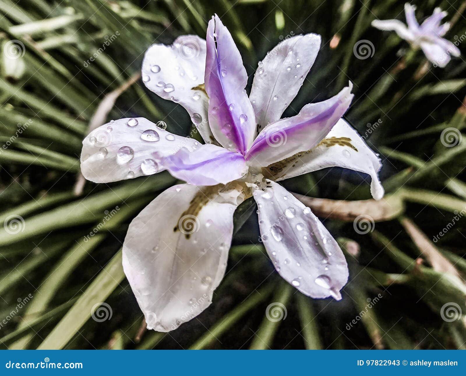 Iris im Purpur