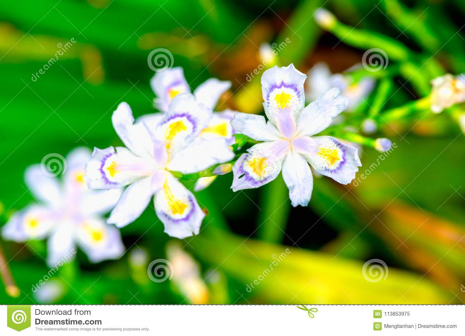 Download Iris Germanica L Iris Tectorum Maxim Stock Image   Image Of Garden,  Bright
