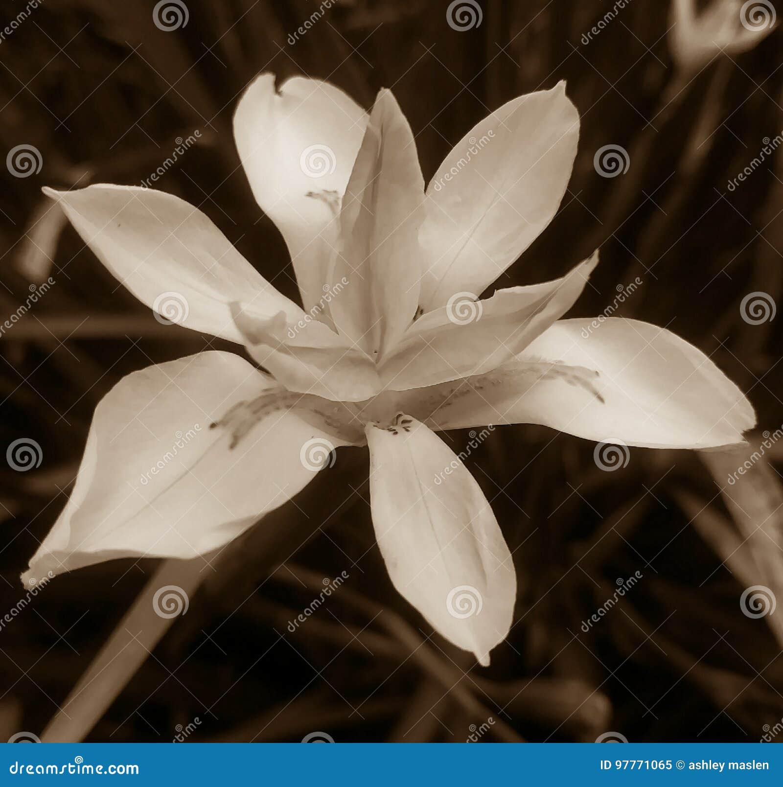 Iris in Monochrome