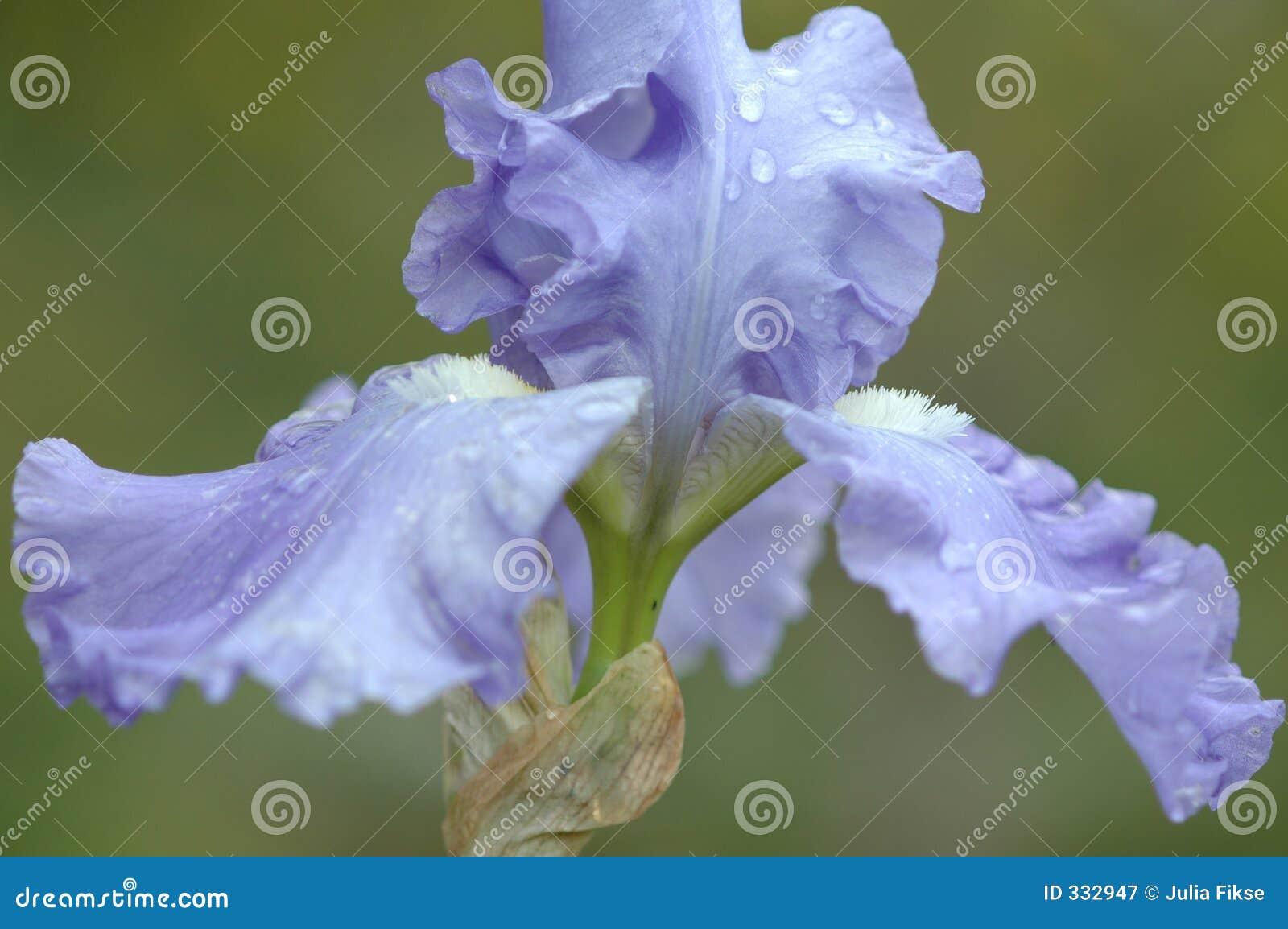 Iris okładzinowy