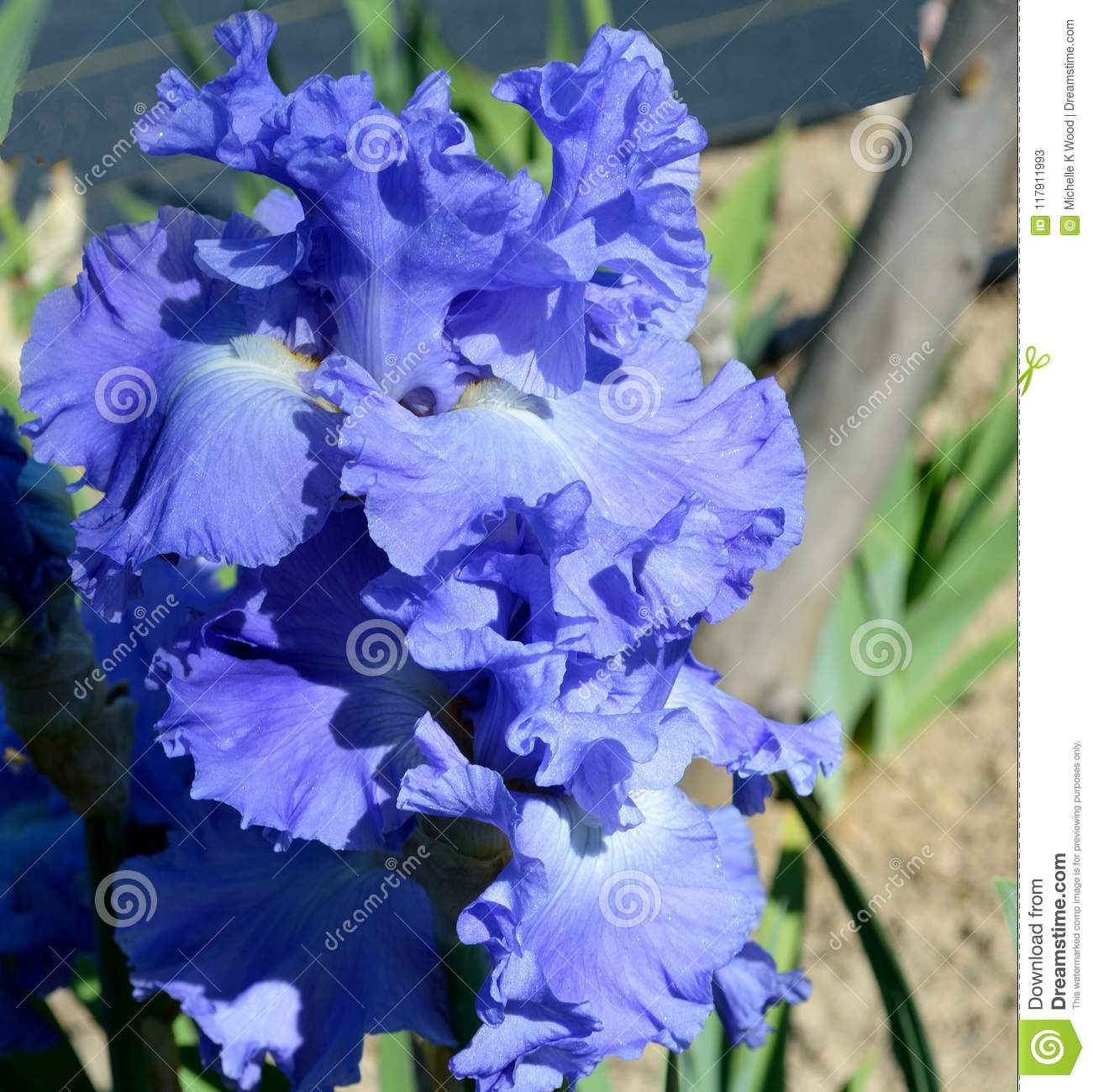 Metoleus blue bearded iris stock image image of genus 117911993 iris a perennial plant grown from creeping rhizomes is a genus of about 260300 species of flowering plants with showy flowers izmirmasajfo