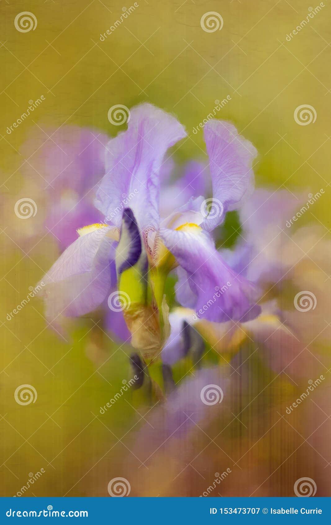 Iris pourpre avec l effet painterly