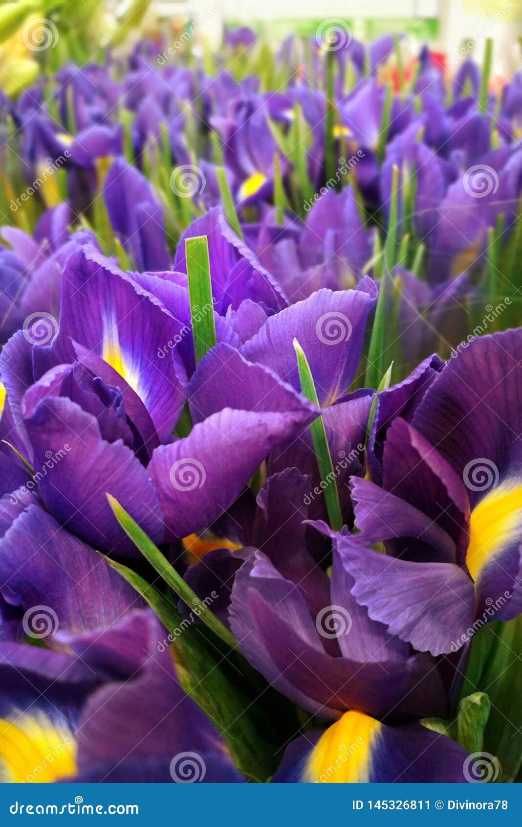 Iris preciosos de las flores
