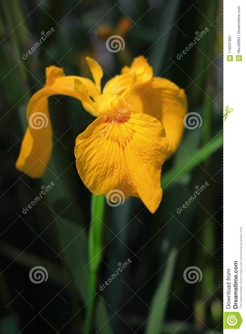 Blooming Yellow Iris Stock Image Image Of Iris Flowering 116547891