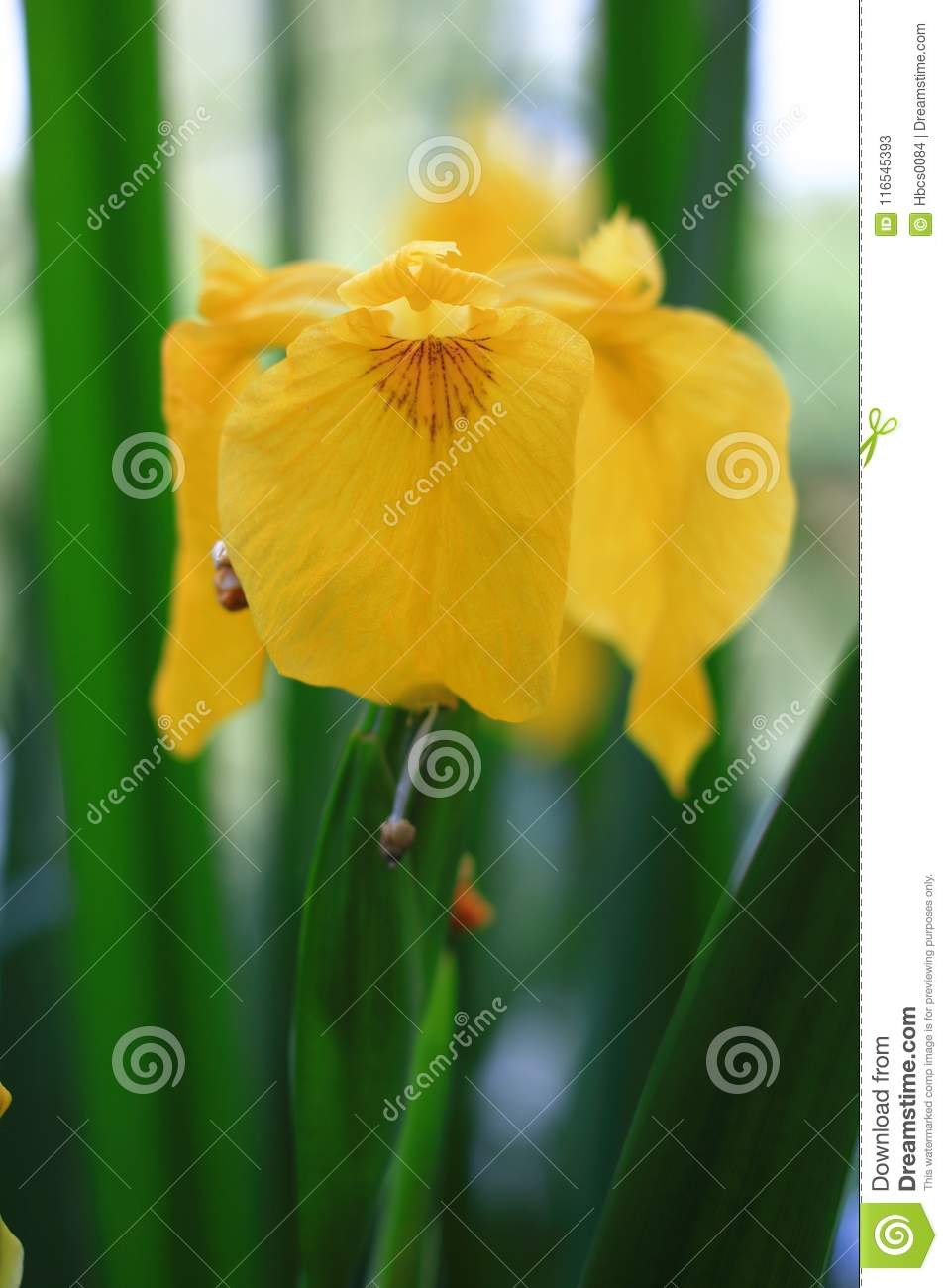 Blooming Yellow Iris Stock Image Image Of Midrib Blooming 116545393