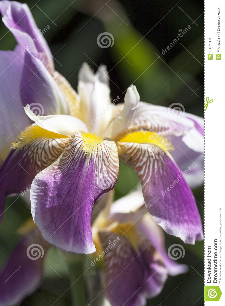 Iris, purple-yellow flowers blooming in a garden, close up.