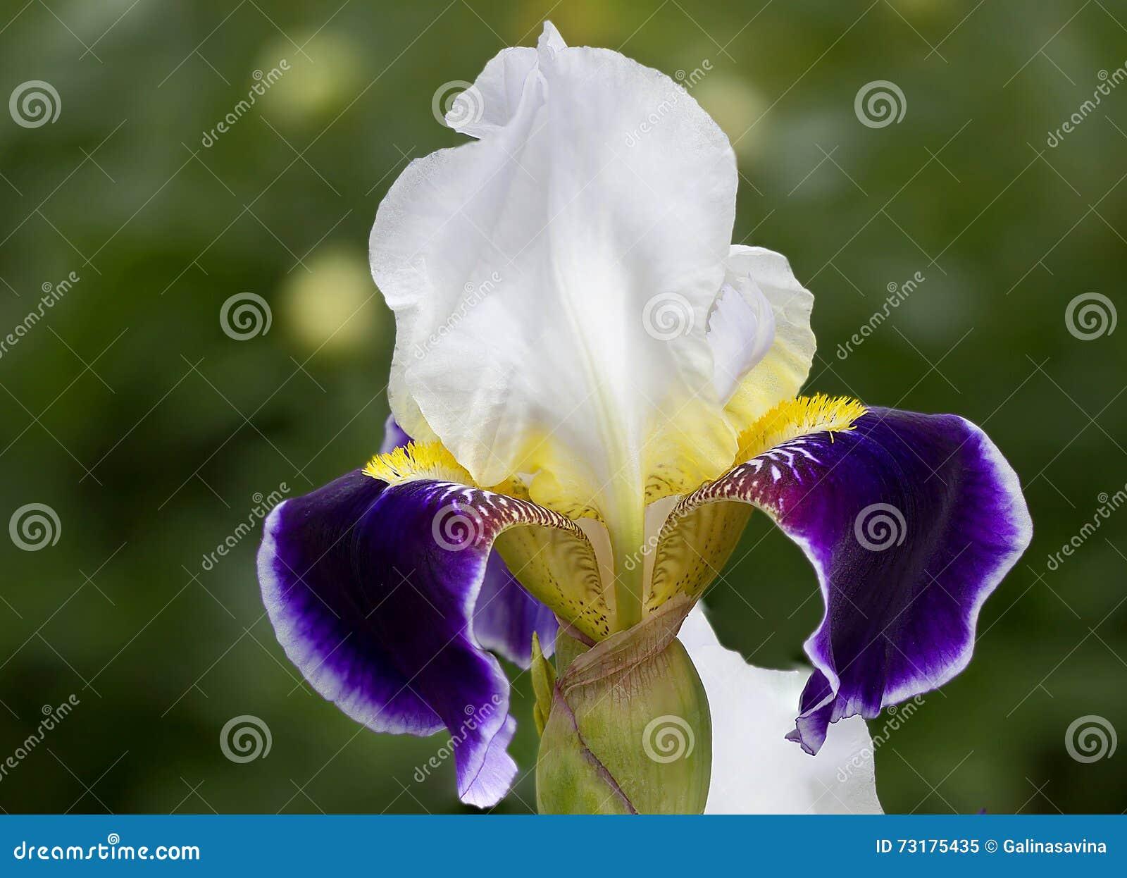 Iris the sort of beautiful night stock image image of gardening royalty free stock photo izmirmasajfo