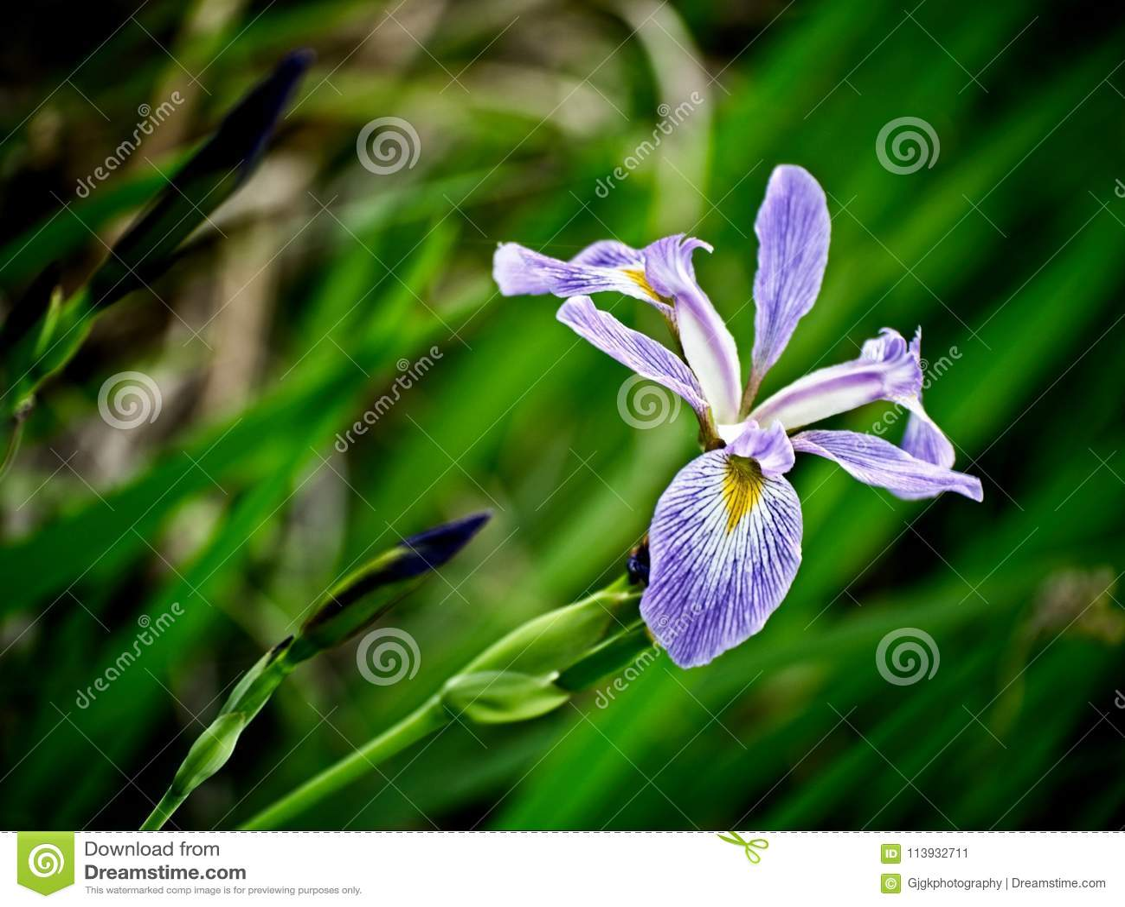 Iris in a Swamp Blooming 2