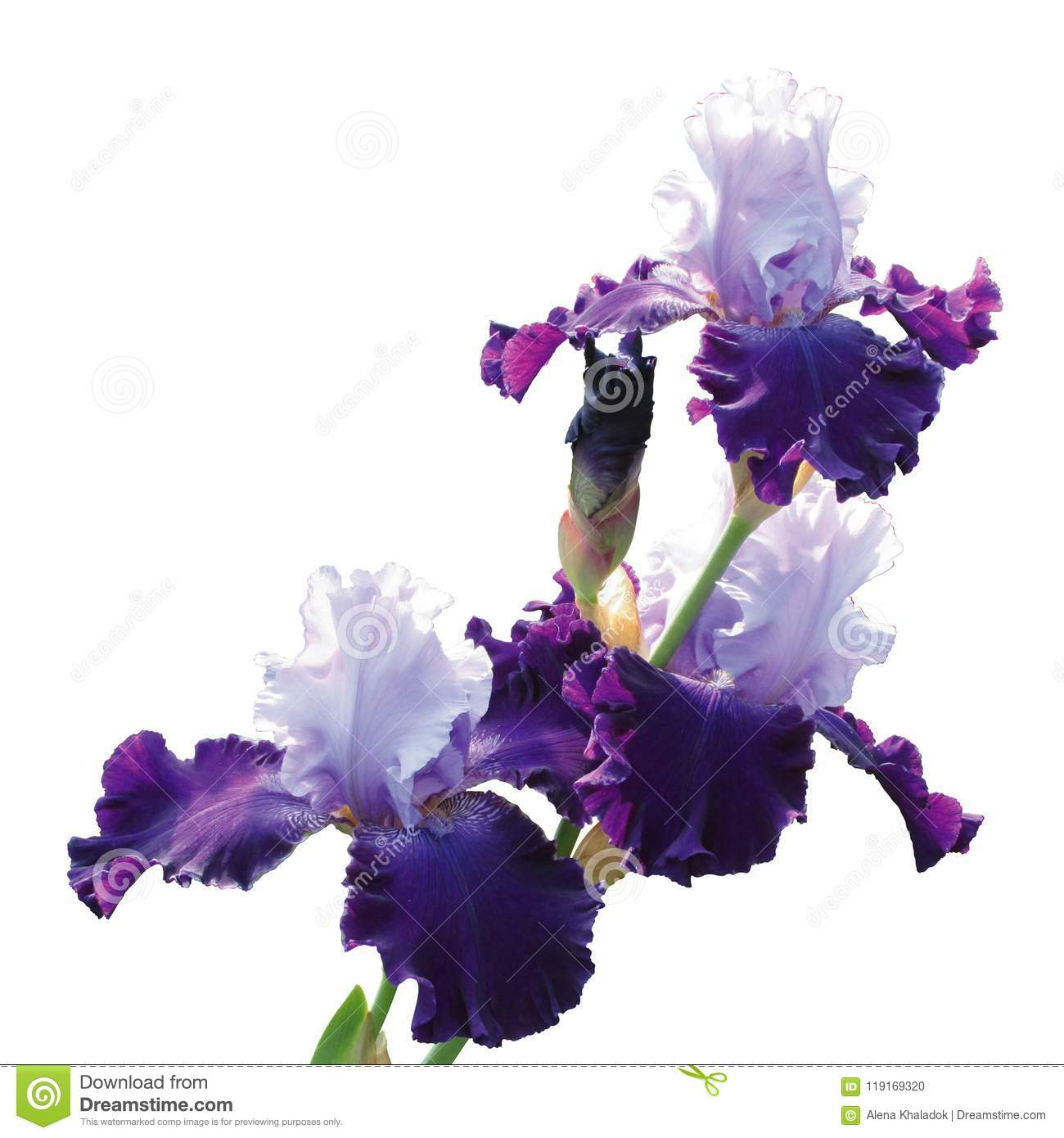 Iris Varieties Of The Great Gatsby Isolated On White Background