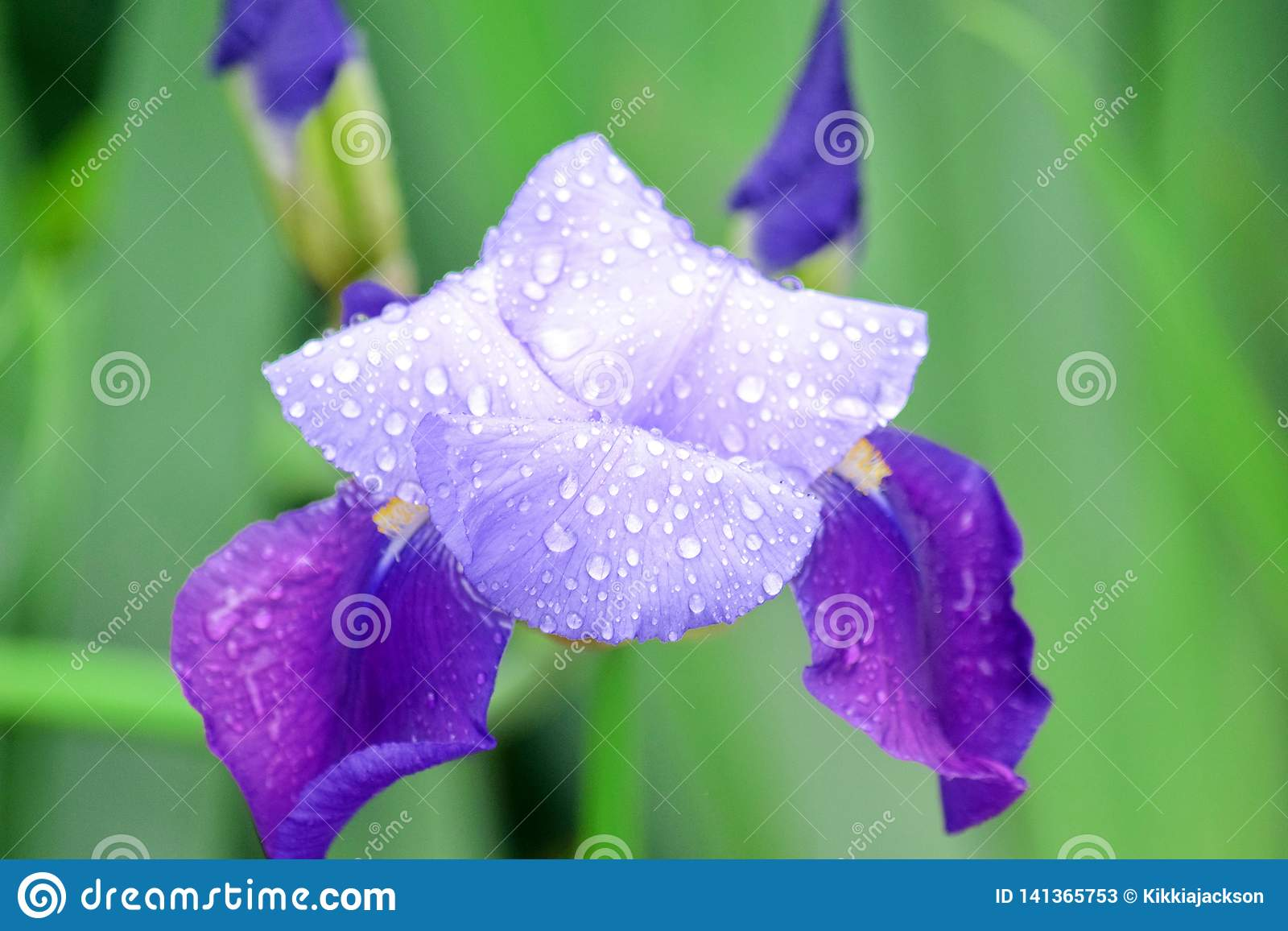 Iris Violet Flowers Home Garden Stock Pfoto Detail Closeup
