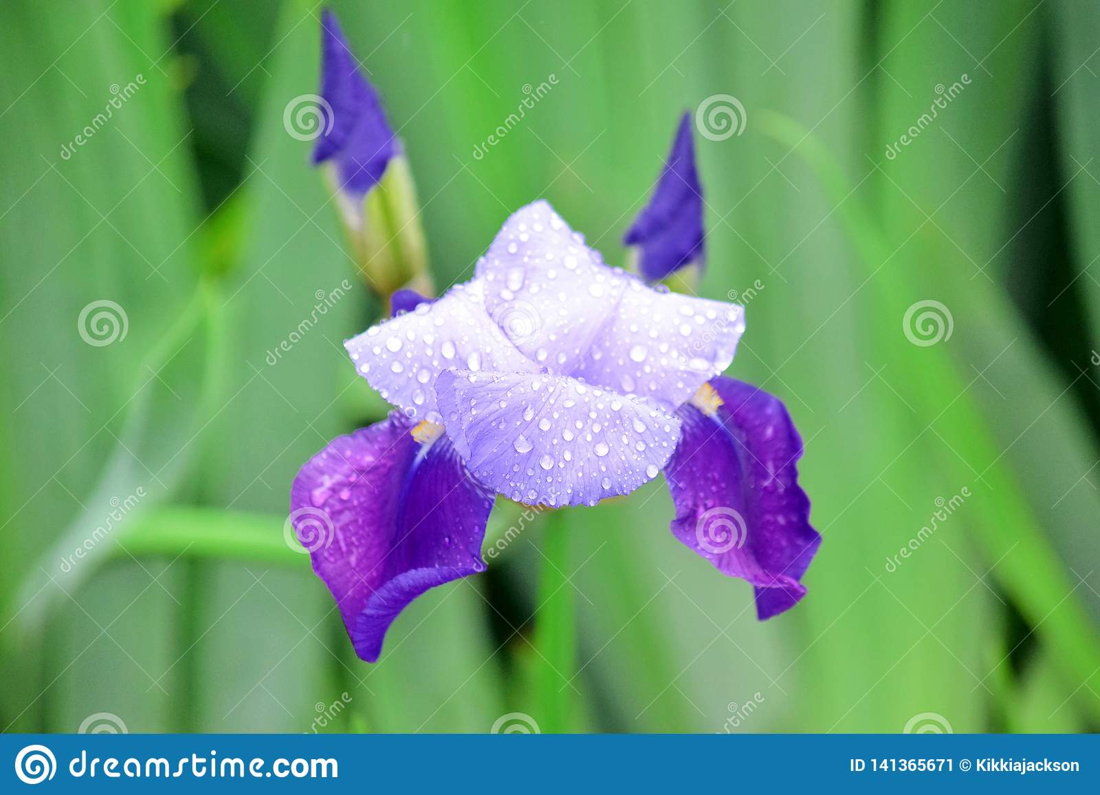 Iris Violet Flowers Home Garden Stock Pfoto detaljCloseup