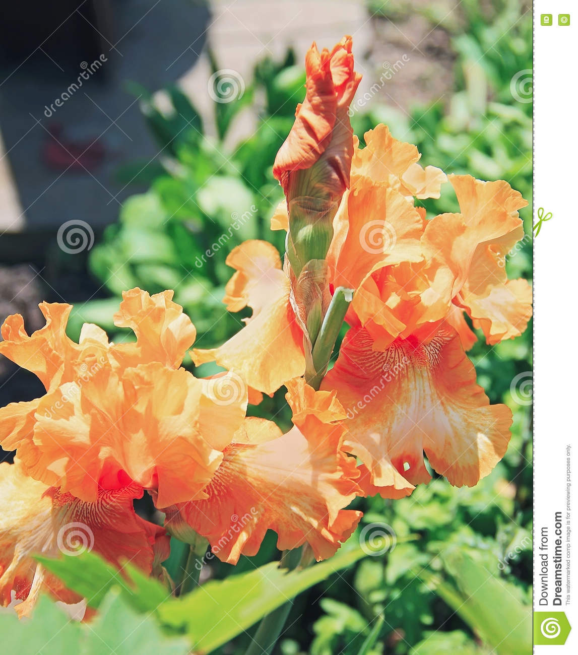 Iris Yellow Orange Flower Plant Latin Name Iris Outdoors Stock