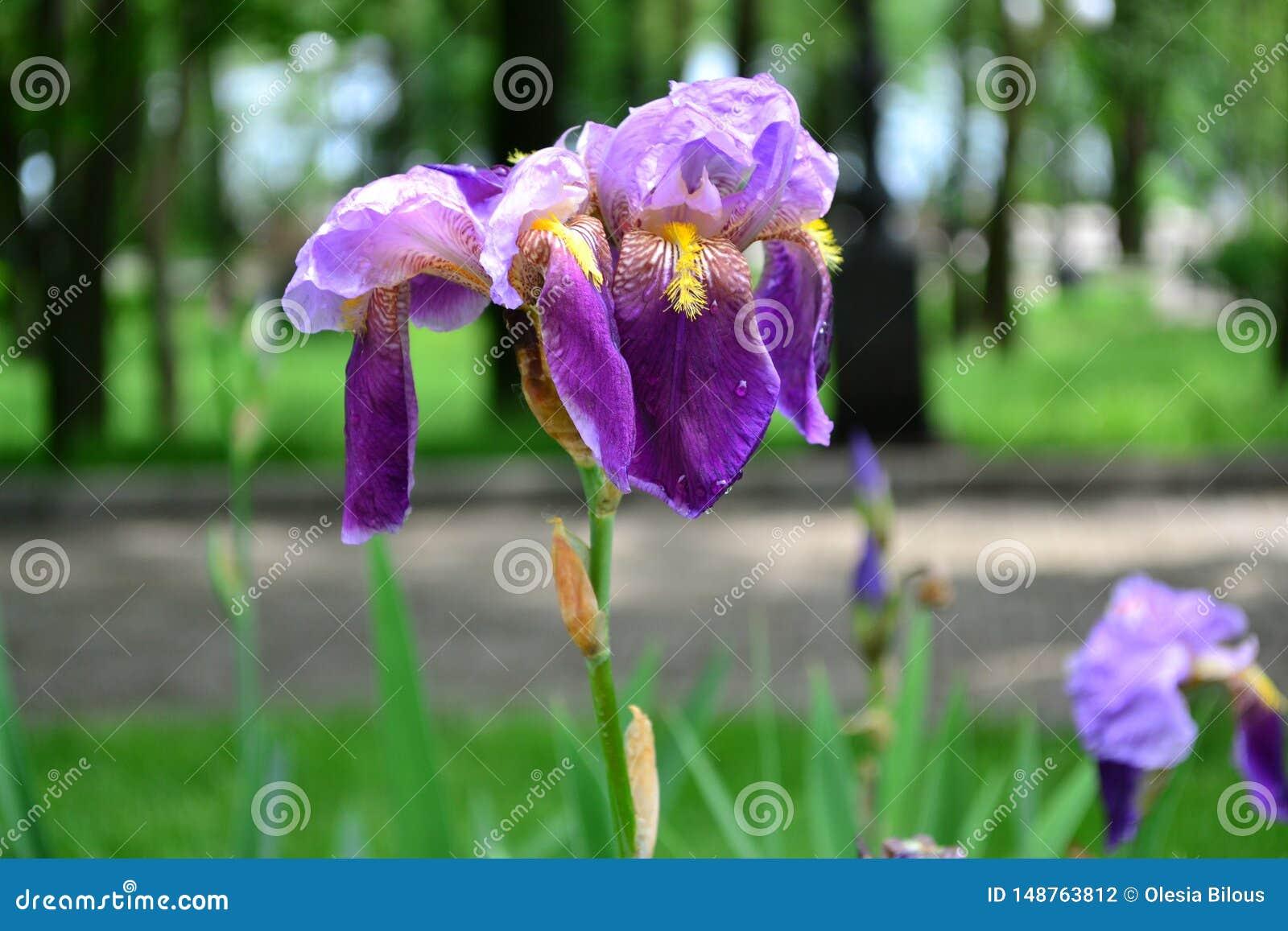 Irisbloem - schaduwen van purple, van licht aan dark