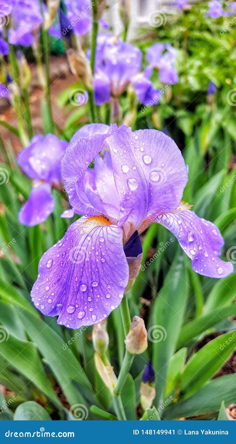 Irisblume nach dem Regen