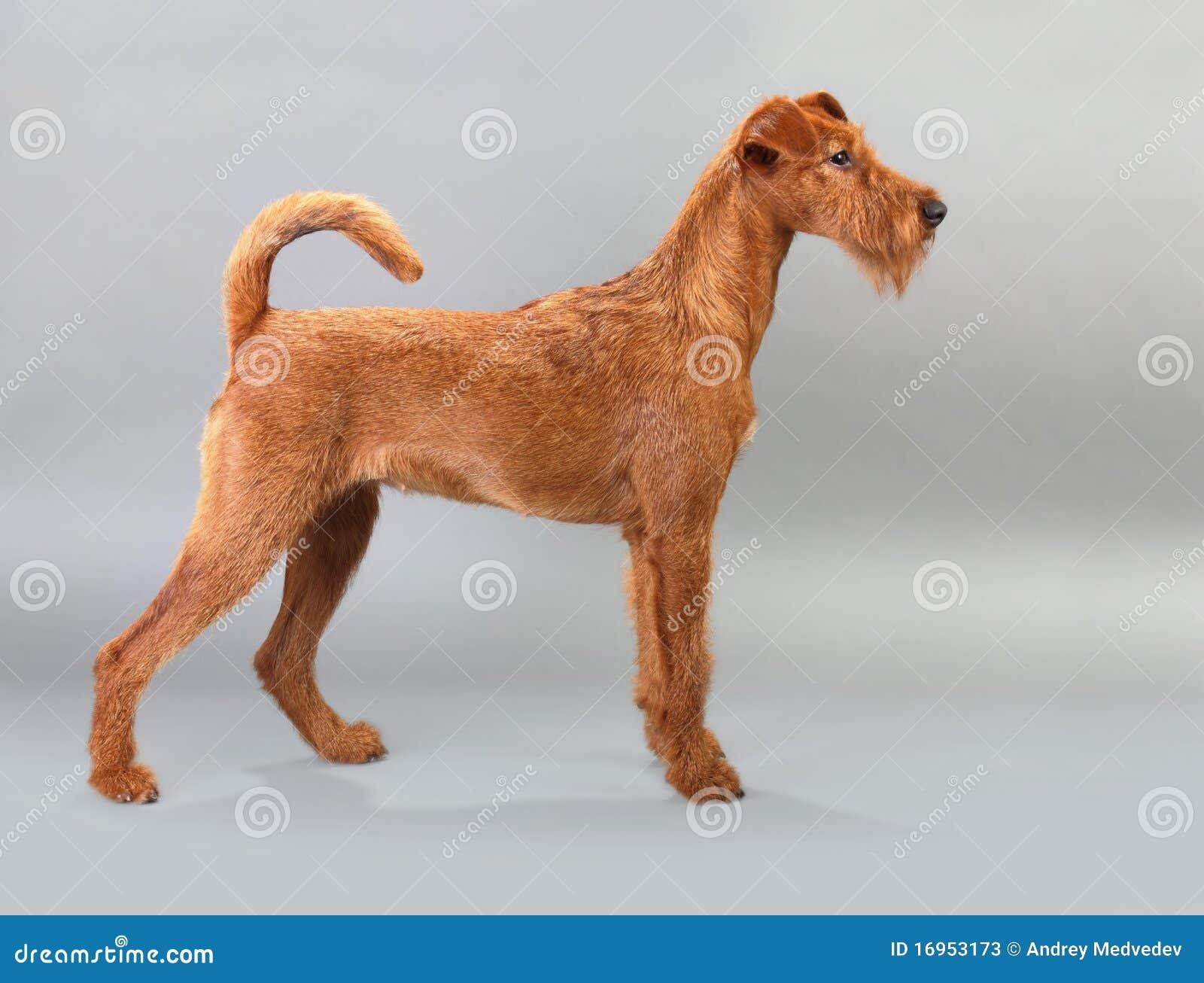 Irischer Terrier