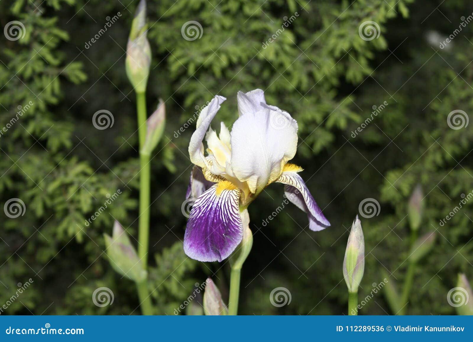 Irise w parku