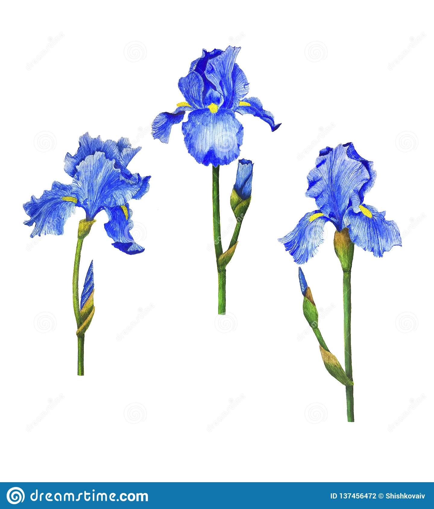 Irises flowers watercolor painting botanical illustration leaves spring summer set for design greeting card invitation