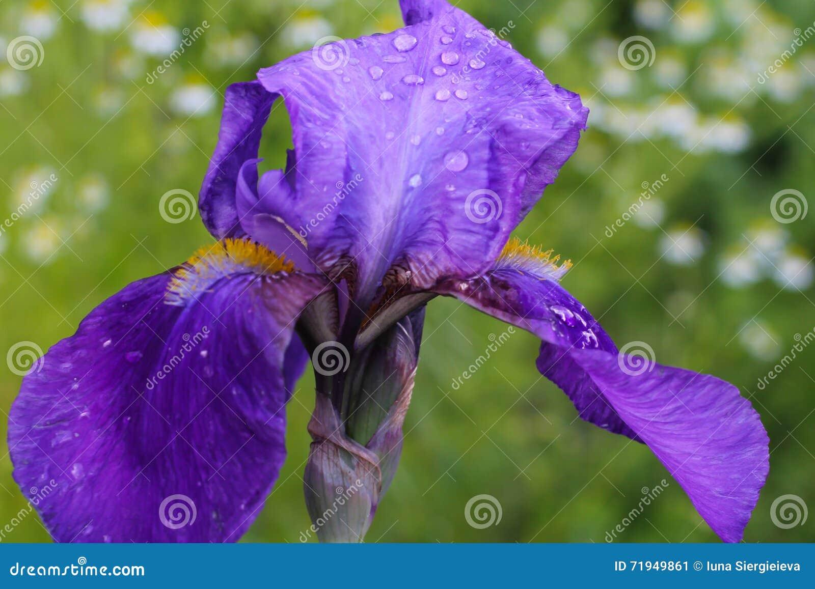Irises after the rain iris flower with rain drops on the petals download irises after the rain iris flower with rain drops on the petals delicate izmirmasajfo