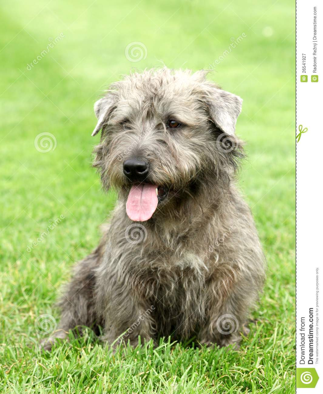 irish glen of imaal terrier royalty free stock photography image 26541927. Black Bedroom Furniture Sets. Home Design Ideas