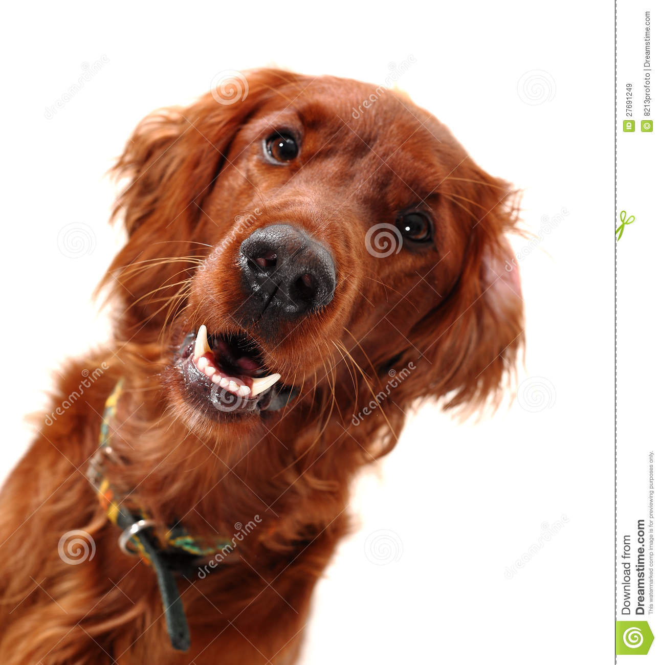 Irish Red Setter Royalty Free Stock Images - Image: 27691249