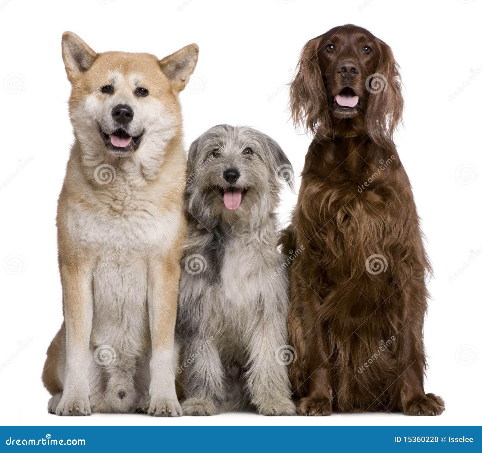 Irish Setter, Akita Inu and Pyrenean Shepherd dog