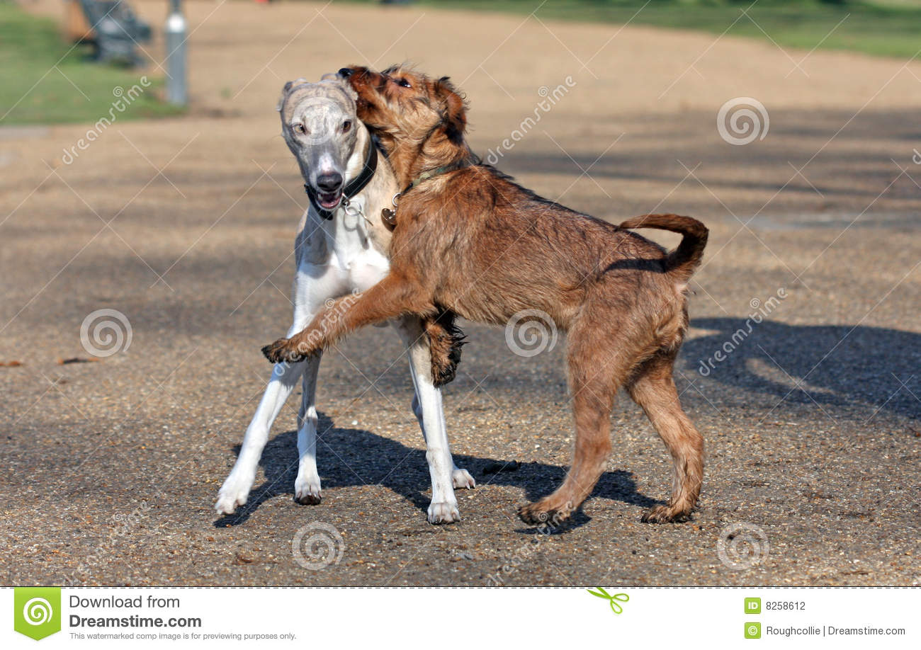 irish terrier and whippet stock photo image of puppies