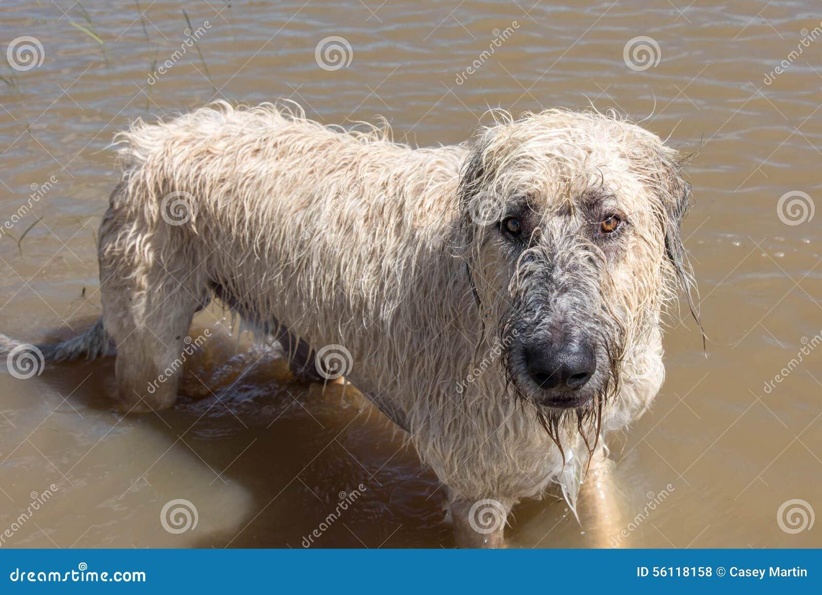 Irish Wolfhound dog pl...