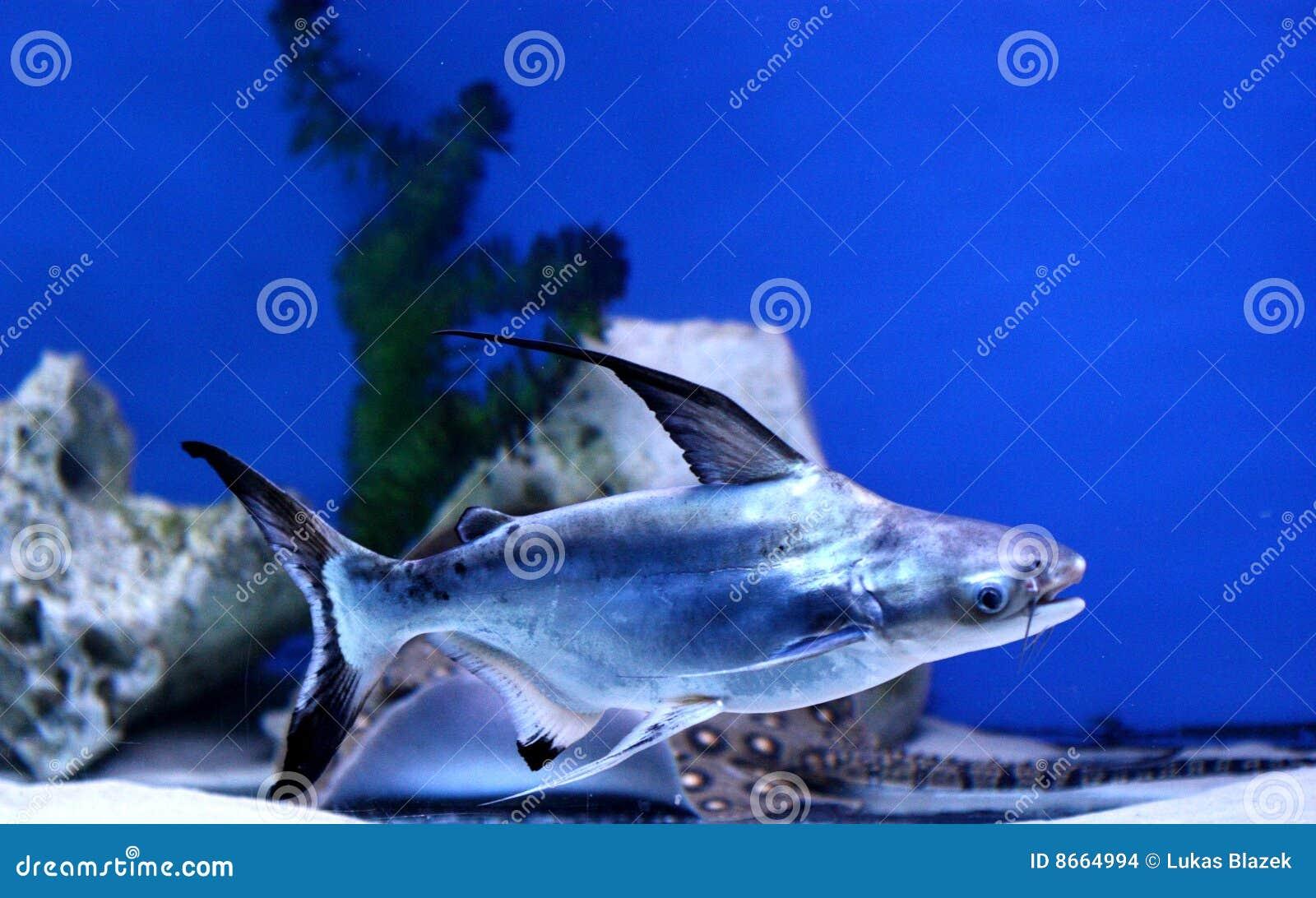 Irisierender Haifisch